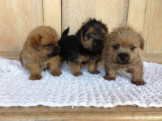 Puppies of Wentworth