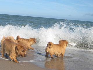 Foto's strand Norfolk Terrier