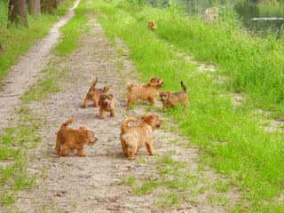Foto's wandelen Norfolk Terrier